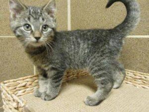 A little gray kitten looking strong