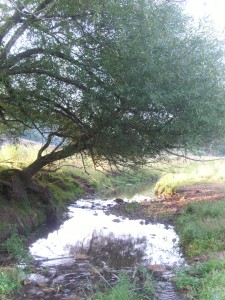 Overhanging tree At the side of a creek